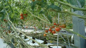 真っ赤に染まったプチトマト
